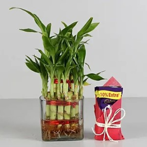 bamboo plant with dairy milk chocolate